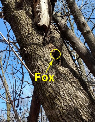 April 2018 Fox